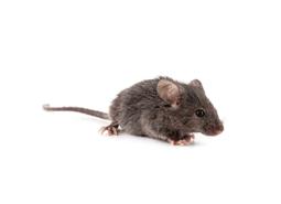 KPC_ContentThumb-Mice