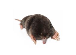KPC_ContentThumb-Mole
