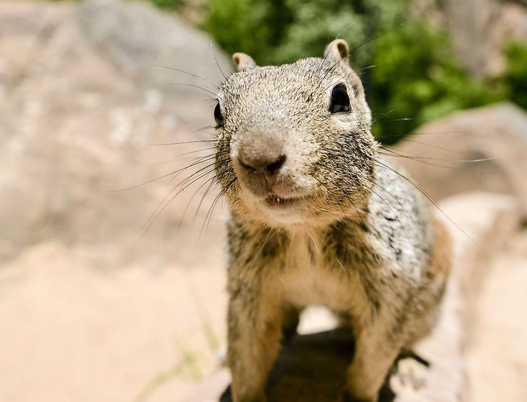 temecula-ground-squirrel-control