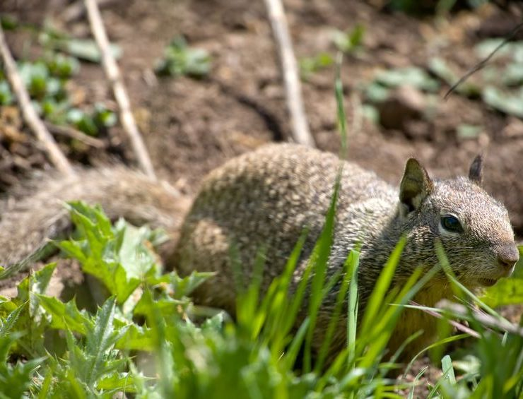 squirrel pest control fallbrook