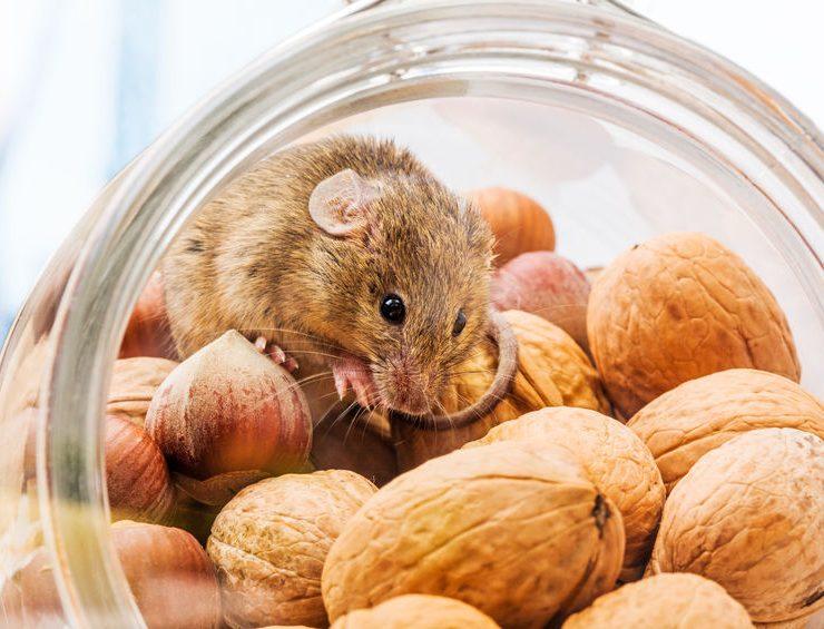 fallbrook rodent pest control