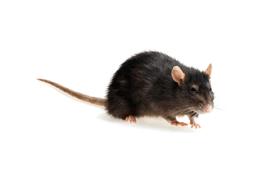 KPC_ContentThumb-Rat