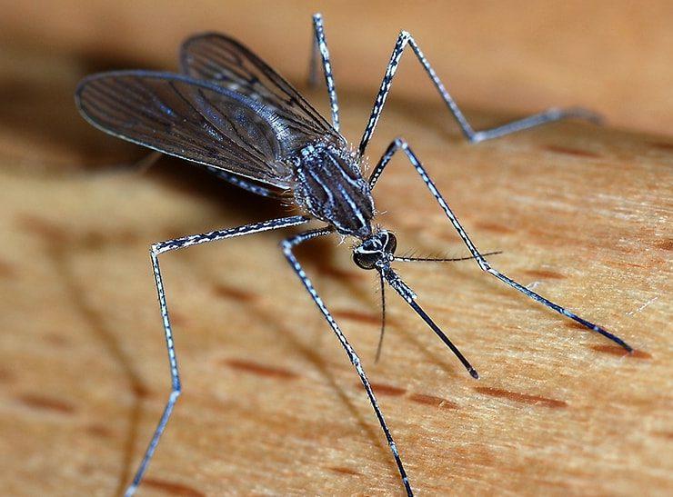 crane fly mosquito hawk fallbrook
