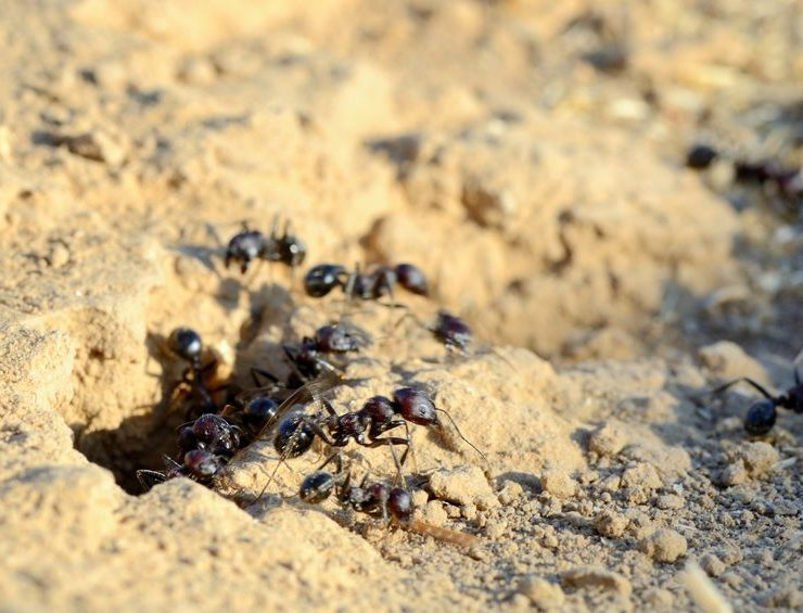 temecula ant control