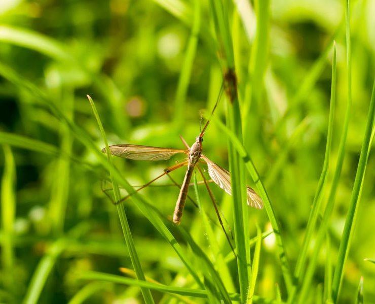 mosquito hawks crane flies temecula
