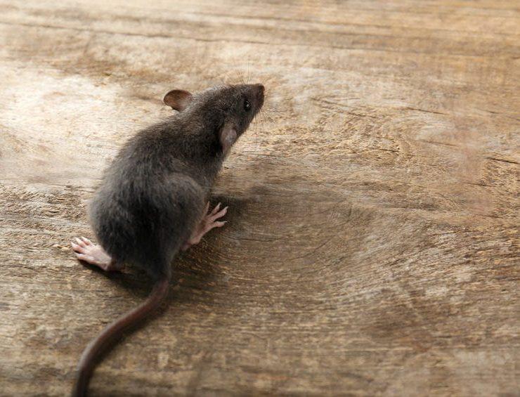 vista pest control rodent control