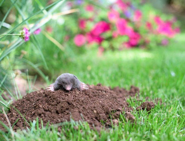 mole pest control temecula