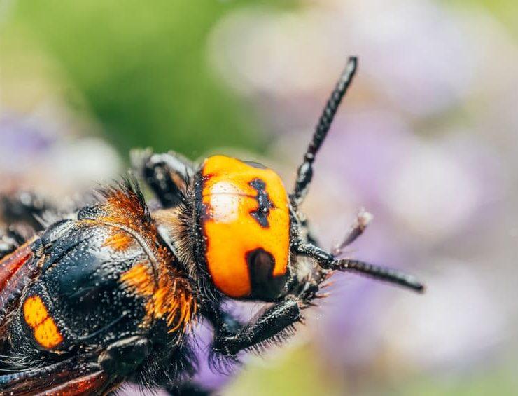 murder hornets temecula